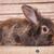 lion head rabbit bunny lying on a wood box stock photo © feedough