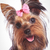 face of a cute yorkshire terrier baby dog looking happy stock photo © feedough