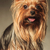 yorkshire terrier puppy dog with mouth open stock photo © feedough