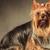 かわいい · ヨークシャー · テリア · 子犬 · 犬 · 見える - ストックフォト © feedough