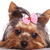 cute yorkshire terrier puppy dog looking a little sad stock photo © feedough