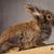 rosolare · leone · testa · coniglio · coniglio - foto d'archivio © feedough