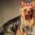 bom · cabelos · longos · yorkshire · terrier · estúdio · feliz - foto stock © feedough