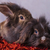 Two  lion head rabbit bunnys sitting on a red scarf stock photo © feedough