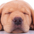head of a sleeping labrador retriever puppy dog stock photo © feedough