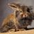 adorable · marrón · león · cabeza · conejo · vacaciones - foto stock © feedough
