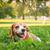 Beagle · щенков · собака · трава · лет · области - Сток-фото © feelphotoart