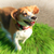 Beagle · зеленая · трава · собака · зеленый · луговой · щенков - Сток-фото © feelphotoart