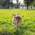 犬 · 芝生 · 演奏 · 動物 · ペット · スタンド - ストックフォト © feelphotoart