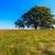 solitário · carvalho · prado · Hungria · árvore · verão - foto stock © fesus