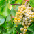 bunch of green grapes stock photo © fesus