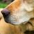 желтый · Лабрадор · ретривер · Открытый · избирательный · подход · волос · рот - Сток-фото © fesus