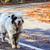 pastor · cão · naturalismo · prado · romeno · em · pé - foto stock © fesus