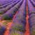 ラベンダー · 長い · 行 · ツリー · 自然 - ストックフォト © Fesus