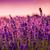 ラベンダー畑 · ハンガリー · 空 · 日没 · 自然 · 風景 - ストックフォト © fesus