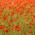 klaprozen · zonneschijn · Rood · roze · zonnige - stockfoto © fesus