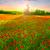 poppies field at sunset stock photo © fesus