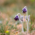 a group of pulsatilla montana stock photo © fesus