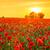 poppy · veld · zonsopgang · Rood · klaprozen · heldere - stockfoto © fesus