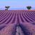 campo · de · lavanda · verão · pôr · do · sol · paisagem · árvore · natureza - foto stock © fesus