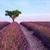 lavendel · veld · boom · Frankrijk · bloem · bomen · planten - stockfoto © fesus