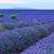 ラベンダー · 長い · 行 · 花 · 夏 - ストックフォト © Fesus
