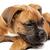 German Boxer puppy (5 month) stock photo © Fesus