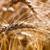 búzamező · kész · aratás · naplemente · tájkép · mező - stock fotó © fesus