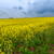 canola field stock photo © fesus