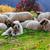 cães · guarda · ovelha · montanha · cão - foto stock © fesus