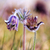 pasque flower blooming on spring meadow stock photo © fesus