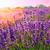 日没 · バイオレット · ラベンダー畑 · 太陽 · 風景 · フィールド - ストックフォト © fesus