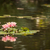 beautiful pink lotus flowers lily pond stock photo © feverpitch