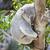 snem · koala · drzewo · twarz · zwierząt · cute - zdjęcia stock © feverpitch