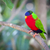 Collared Lory of the Fiji Islands stock photo © feverpitch