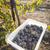 bor · szőlő · aratás · egy · ősz · reggel - stock fotó © feverpitch