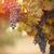 luxuriante · maduro · vinho · uvas · videira · pronto - foto stock © feverpitch