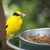Feeding Black-naped Oriole of Eastern Asia with Worm in Beak stock photo © feverpitch