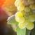 luxuriante · branco · uva · vinha · tarde · sol - foto stock © feverpitch