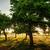 öreg · gyümölcsös · fák · napos · idő · vidék · naplemente - stock fotó © filmstroem