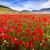 campo · flores · silvestres · montanhas · belo · natureza · viajar - foto stock © fisfra