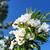virágzó · cseresznye · kék · ég · fókusz · előtér · sekély - stock fotó © fogen