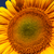 sunflower field backlit stock photo © fogen