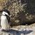 pinguim · 20 · cidade · colônia · ocidental · África · do · Sul - foto stock © forgiss