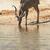 portret · woestijn · Botswana · reizen · vlees · park - stockfoto © forgiss