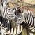 シマウマ · アフリカ · 公園 · ケニア · 草 · 馬 - ストックフォト © forgiss