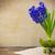 sümbül · bağbozumu · bahar · çiçekleri · hediye · mavi - stok fotoğraf © fotoaloja