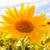 campo · girassóis · verão · blue · sky · branco · nuvens - foto stock © fotoaloja