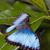 morpho butterfly stock photo © fotoedu