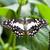 Papilio demoleus malayanus stock photo © fotoedu